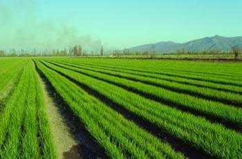 campos de cebollas